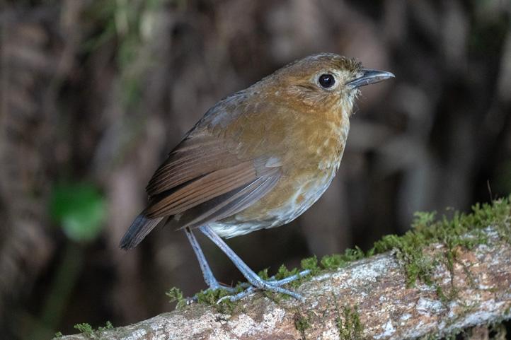 Brown-banded-Antpitta-Grallaria-milleri