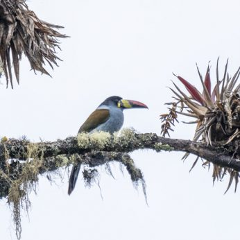 Tolima Birding Routes: from the Andean Snows to the Magdalena Valley