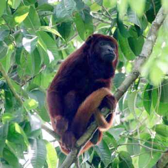 The Colombian Red Howler Monkey Sanctuary Los Colorados, just 90 km from Cartagena