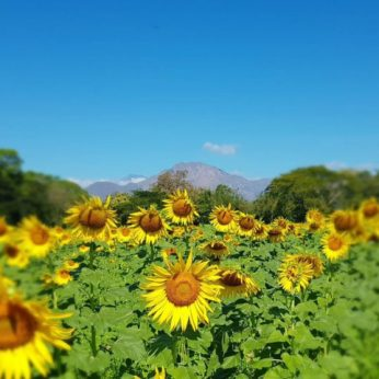 Best 3 Sunflower Fields That You Can Actually Visit in Colombia